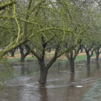 Flooding of California almond orchard for groundwater recharge demonstration project